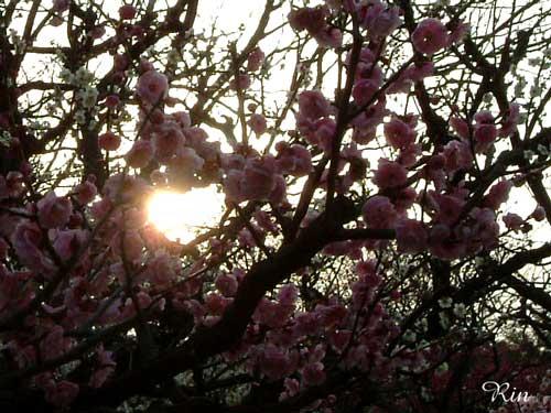 梅と夕日.jpg