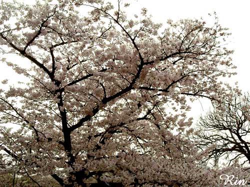 大阪城-桜200604.jpg